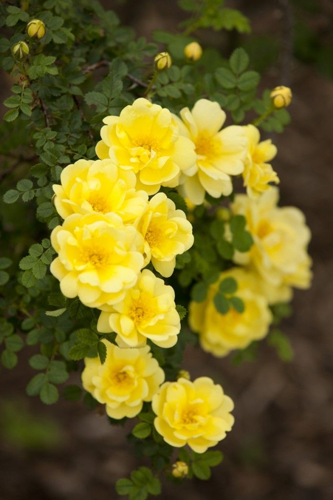 'Harison's Yellow' |Hybrid Foetida, Hybrid Spinosissima, Shrub Rose. George Folliott Harison (United States, circa 1824)