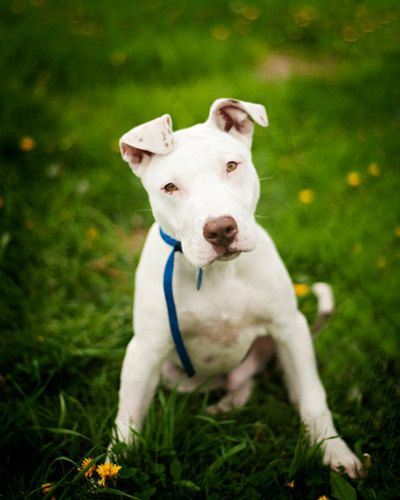 Shelter Dog Portrait, Pit Bull Puppy    by Kaelyn Ryan Photography