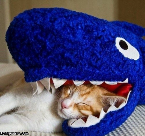 Sharks Weeks, Funny Cat, Hilarious Animal, Funny Quotes, Funny Photos, Sharks Attack, Kitty, Emily The Strange, Silly Cat
