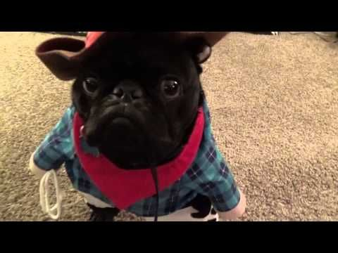 This pug is funny looking he has his cowboy gear on ready to duel old west  style.