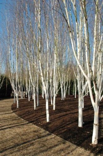 Birches Himalayan And Silver On Pinterest
