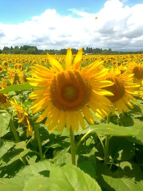 Ten million of sunflowers in Takanabe Miyazaki