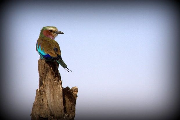 Roleiro-de-peito-lilás (Coracias caudatus). Frequentemente observado no topo de árvores, galhos de arbustos ou qualquer ponto elevado que ofereça uma boa visão para pegar uma presa - Foto: Fábio Paschoal