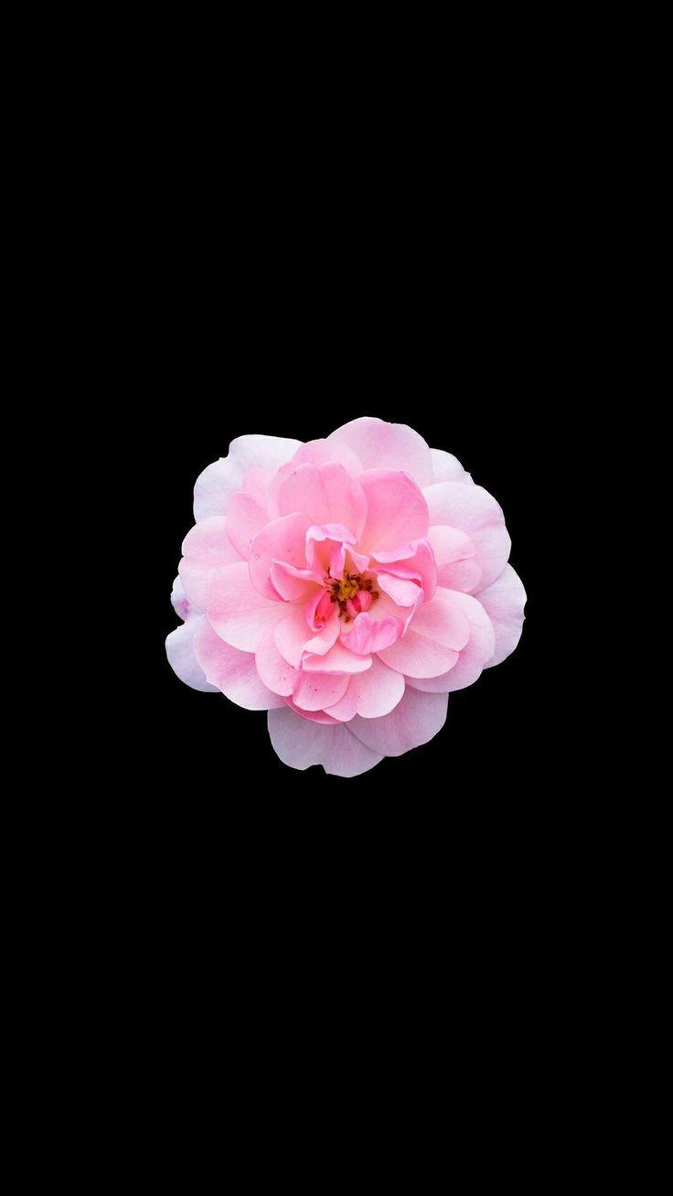 Einzelne Blume Rosa Iphone Wallpaper Pink Wallpaper Iphone Flower Iphone Wallpaper Pink Flowers Wallpaper
