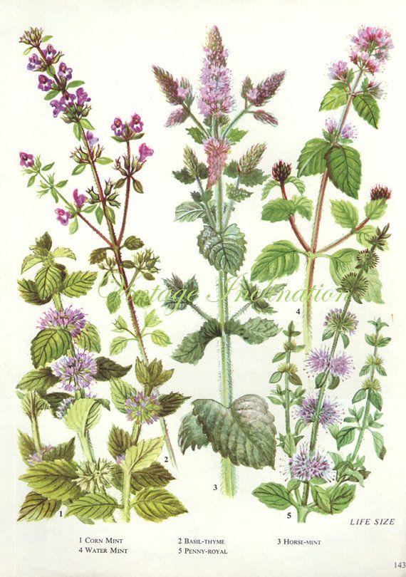 HERBS MINT BASIL Thyme Vintage Botanical Print Antique, plant print 143 botanical print, bookplate art print, herb plants plant wall print