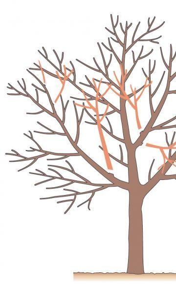 Entfernen Sie im Kroneninneren kreuzende oder nach innen wachsende Äste und Zweige