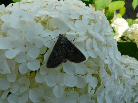 Apamea remissa: the dusky brochade | The Nature of Dorset