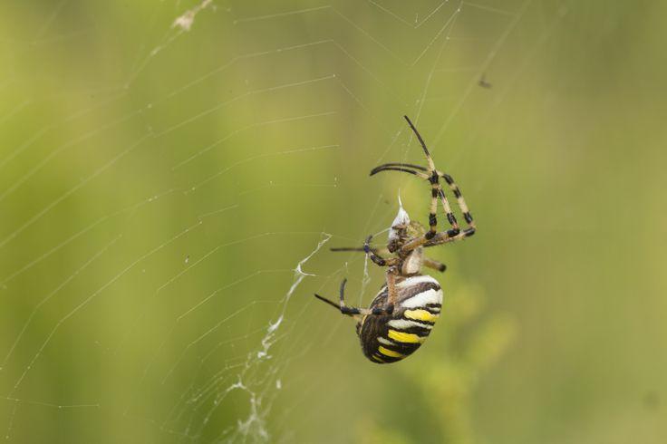 https://flic.kr/p/ML58zZ | Wasp spyder kiss | When a dam makes its first contact on the network, wasp spyder (Argiope bruennichi) immobilizes quickly locking her in her silk thread. The dam is then chopped, injecting a paralyzing poison and an enzyme protein solvent.  Thank you for the visits, commets and faves.  Cuando una presa hace su primer contacto en la red, la araña avispa (argiope bruennichi) rápidamente la inmoviliza encerrándola en su hilo de seda. La presa es luego picada…
