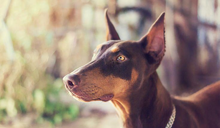 ケベック州2017年より美容目的の断尾や断耳を禁止動物福祉の原則に反する