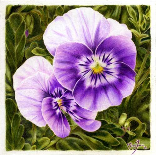 colored pencil drawing of violet pansies by maryjane sky fine art