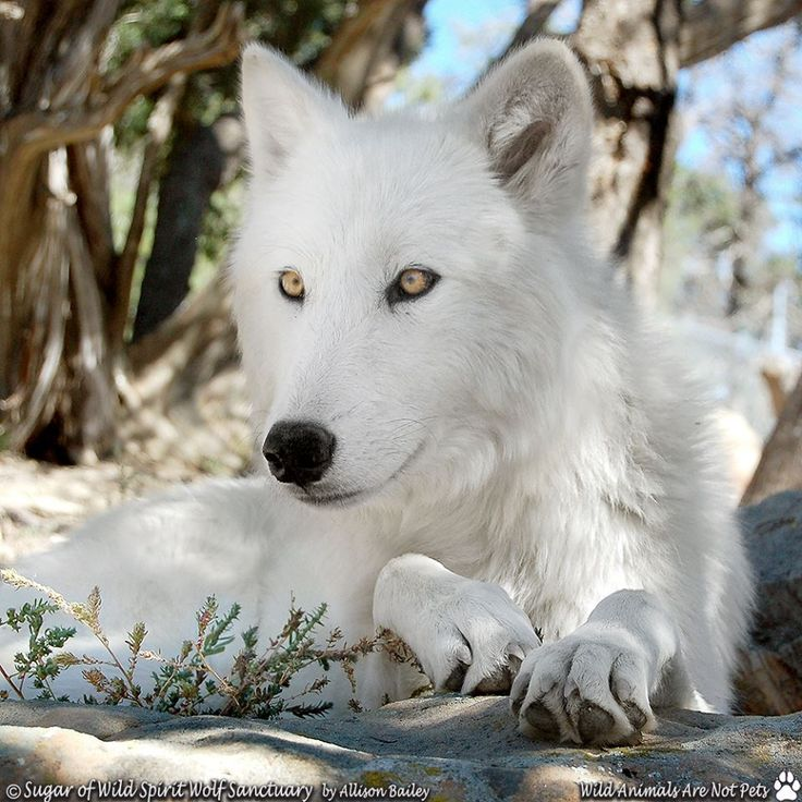 SAVE THE WOLVES                                                                                                                                                      More