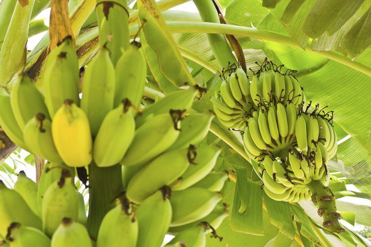 Urlaub dort, wo Bananen wirklich noch nach Bananen schmecken? Und duften! Wie wär's mit #Bali? In Kombi mit Java die Hotspots rund-reisen: http://www.rewe-reisen.de/detail.html?ttid=PH&hid=6IB101D&ssnid=W14&na=2&nn=14&mnth=2014-11-25&rid=DR&bid=BB&nc=0&lndpu=%2Frundreisen.html&pttid=PF&dft=apx&pna=2&pnc=0&ps=pr