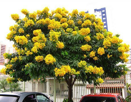 93 best trees images on Pinterest Flowering trees Ficus tree