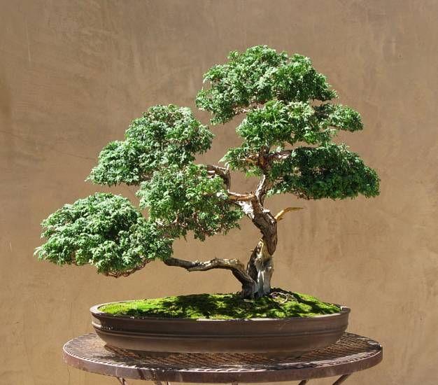 25 best ideas about hinoki cypress on pinterest for Bonsai de jardin