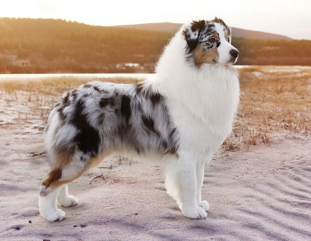 Gorgeous Blue merle Australian Shepherd. Such a handsome looking dog!
