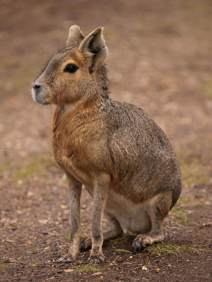 Patagonian Mara | //Animals you've never heard of | Pinterest