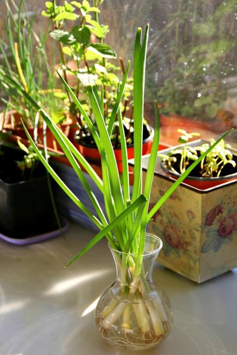 Grow Green Onions From Cuttings.
