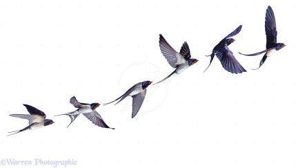 Barn Swallow (Hirundo rustica) flight sequence