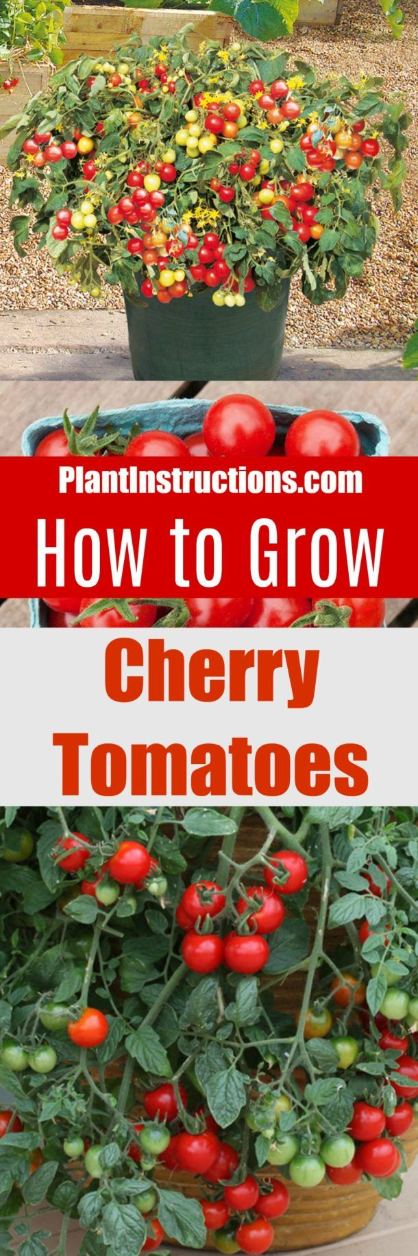 How to Grow Cherry Tomatoes