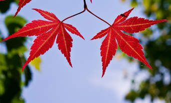 japanese maples - Norton Safe Search