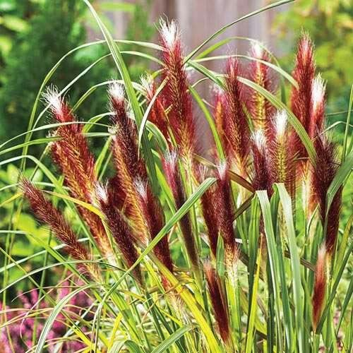 Red head fountain grass side flower bed landscaping for Grass plants for flower beds