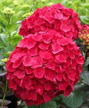 Hortensia 'Magical® Ruby Red' - De rödfärgade blommorna hos hortensia 'Magical® Ruby Red' är en slående syn! Den här vackra och robusta hortensian är ett färgglatt inslag i rabatten, eller i en rymlig kruka på terrass eller balkong. Hortensian 'Magical® Ruby Red' garanterar ett hav av blommor som du kan njuta av i månader och på nytt varje år!