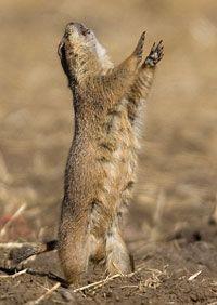 Black Tailed Prairie Dog Communication