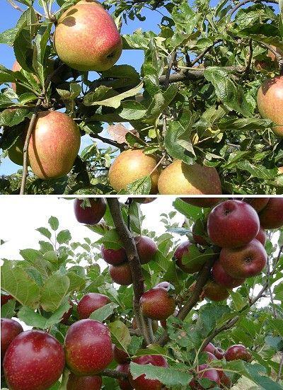 Fruit Trees - Days Cottage