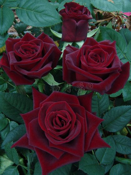 Black Baccara rose. Apparently the closest you can get to actual black.