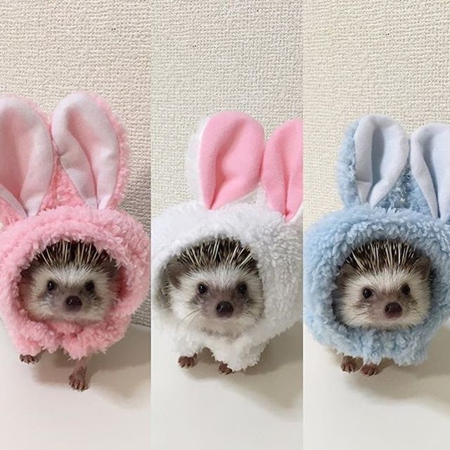 These 3 are set for Easter, wearing their cute little bunny hats!   See Instagram Photos and Videos tagged with #cutehedgehogs | WEBSTAGRAM