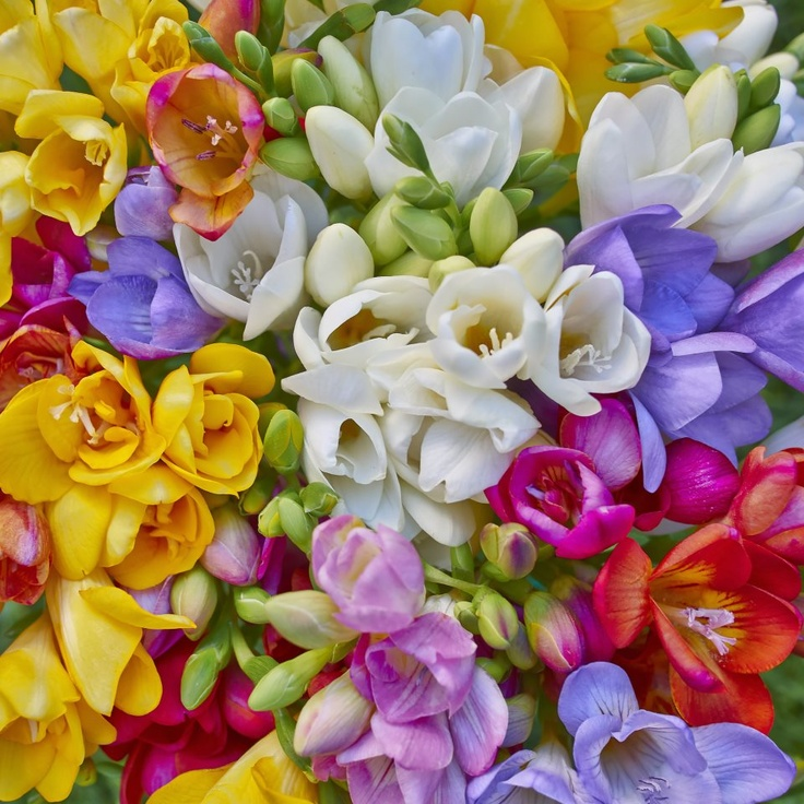 Freesias: against stress