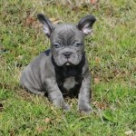 BLUE FRENCH BULLDOGS...I didn't know there were blue frenchies!  Would love to have one to pal around with my blue doberman!