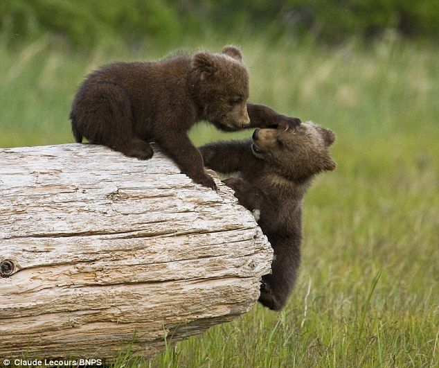 Grizzly bear cubs battle to knock each other off a log