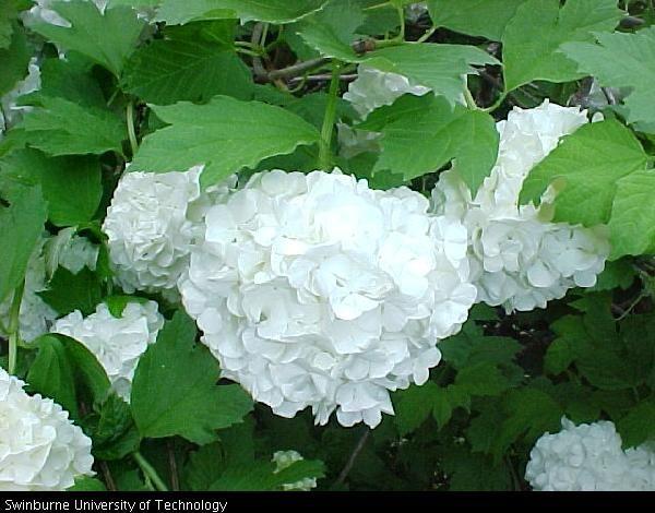 Viburnum opulus 'Roseum'Vanlig krossved  SnøballbuskCaprifoliaceae KaprifolfamilienLIGNOSE