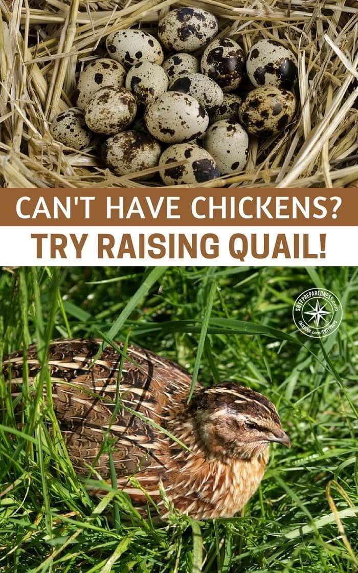 Can't Have Chickens? Try Raising Quail! -- There are places where chickens are banned from being raised. Home Owner's associations are a prime example of places you can't raise chickens at all. #homestead #homesteading
