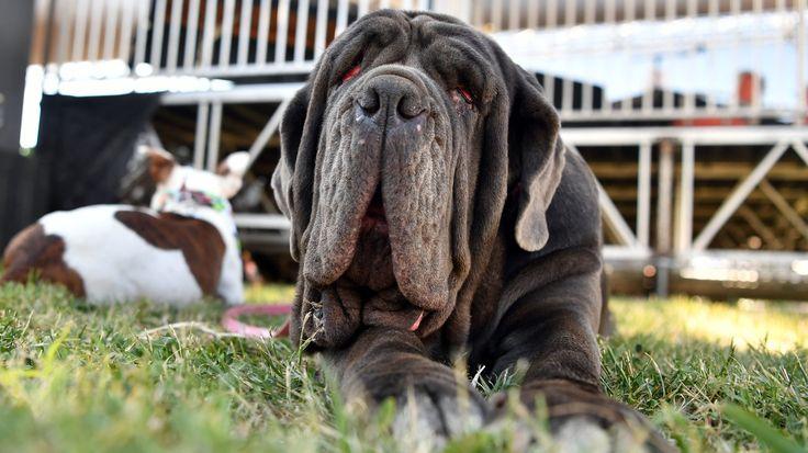 Martha a Neapolitan Mastiff happy winner of the World's Ugliest Dog Contest in Petaluma CA (credit Josh Edelson) http://ift.tt/2sF1tkW