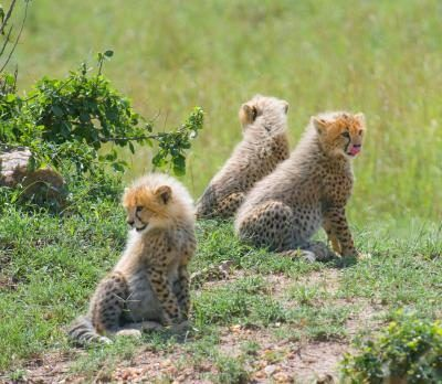 Baby cheetahs are usually born in litters of three to five cubs.