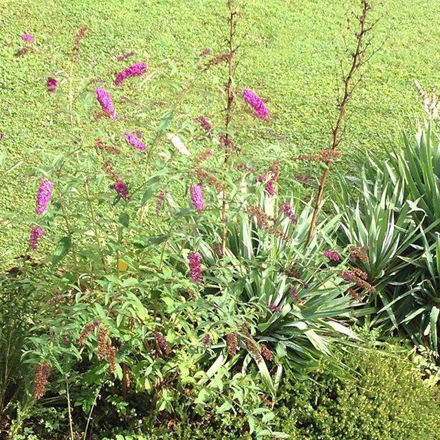 #mindfulness#achtsamkeit#summer#sommer#gardening#garten#natur#nature#naturelovers#landliebe#landlust#bauerngarten#gartenglück#gartenliebe#wachstum##growth#flowers#blumen#floral#structure#life#leben#buddleja#buddleia#sommerflieder#blossom#palmlilie#brush#strauch