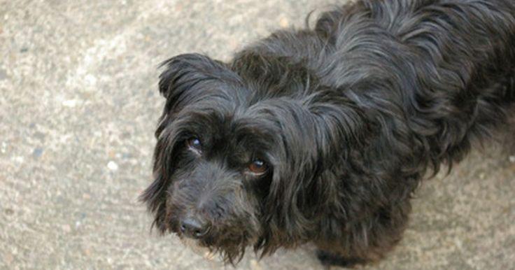 Cómo hacer desaparecer los tumores de piel en los perros. Los tumores de piel en los perros pueden tomar muchas formas, algunas de las cuales son benignas y otras malignas. Los tumores malignos son un problema serio que puede resultar en la muerte de tu perro y estos tumores no desaparecen, pero hay tumores benignos, como los lipomas, que pueden disminuirse o incluso desaparecer por completo con un ...