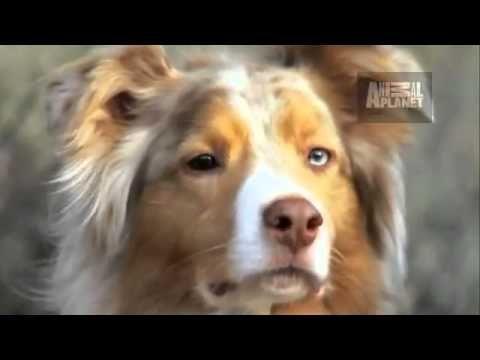 Dogs 101 Australian Shepherd - YouTube