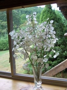 DRIED LUNARIA MONEY PLANT SILVER DOLLAR 8 PIECES 14-24 INCHES NEW 2012 NICE – Money Plants