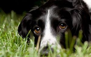 Просмотреть обои английский спрингер-спаниель, взгляд, макро, собака, трава