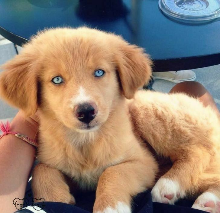 Pinterest Sweetness Golden Retriever Husky Mix Golden