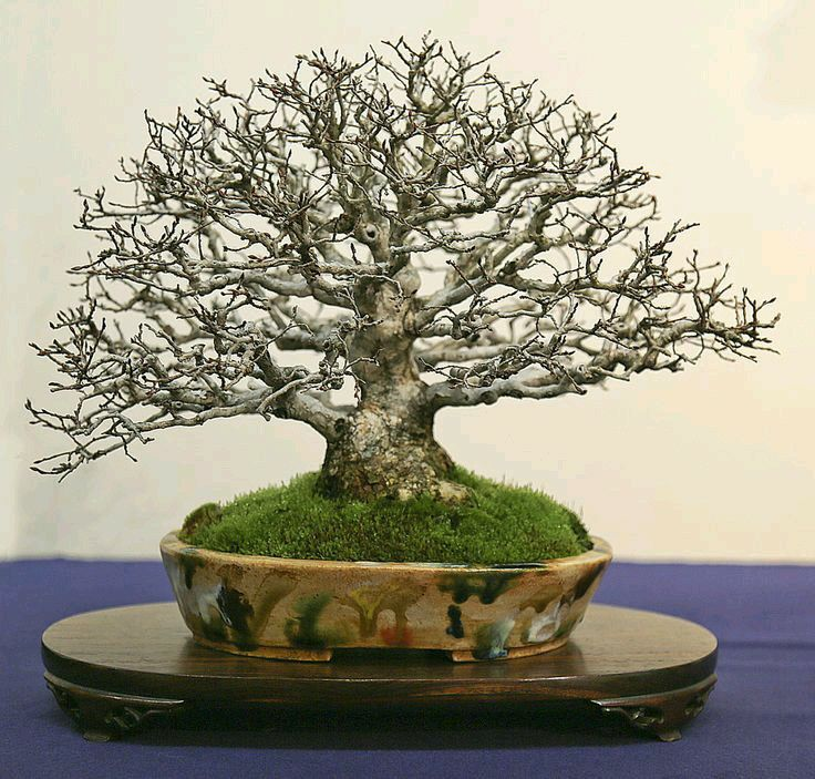 Exhibition Stand Tree : Best bonsai display stands images on pinterest