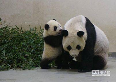 Panda cub Yuan Zai melts hearts at Taiwan!   It's Yuan Zai and her mom! Do you like it