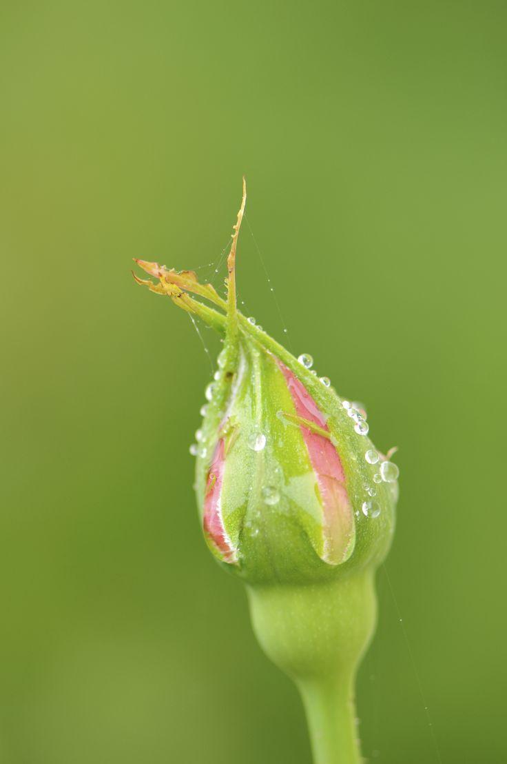 Best Rose Bush Ideas On Pinterest Flowering Bushes Growing