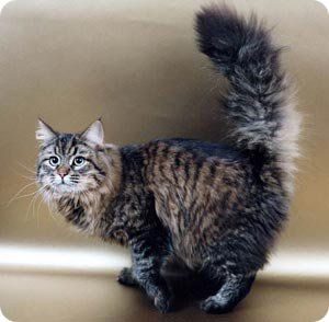 El gato Siberiano, un gato perro