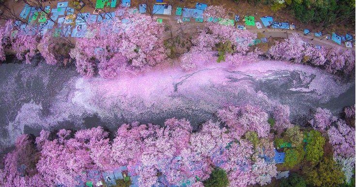 La primavera en Japón llega oficialmente con el florecimiento de sus árboles más representativos, en este caso los cerezos o sakura.