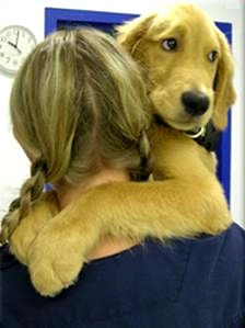 Golden Retriever rescue