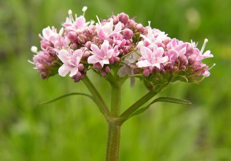 La valeriana è una pianta che ha effetti sedativi e calmanti. E' in grado di agire sul sistema nervoso, riducendo lo stress. Il suo abuso può determinare effetti collaterali. Meglio seguire il dosaggio adeguato, consultando il medico.